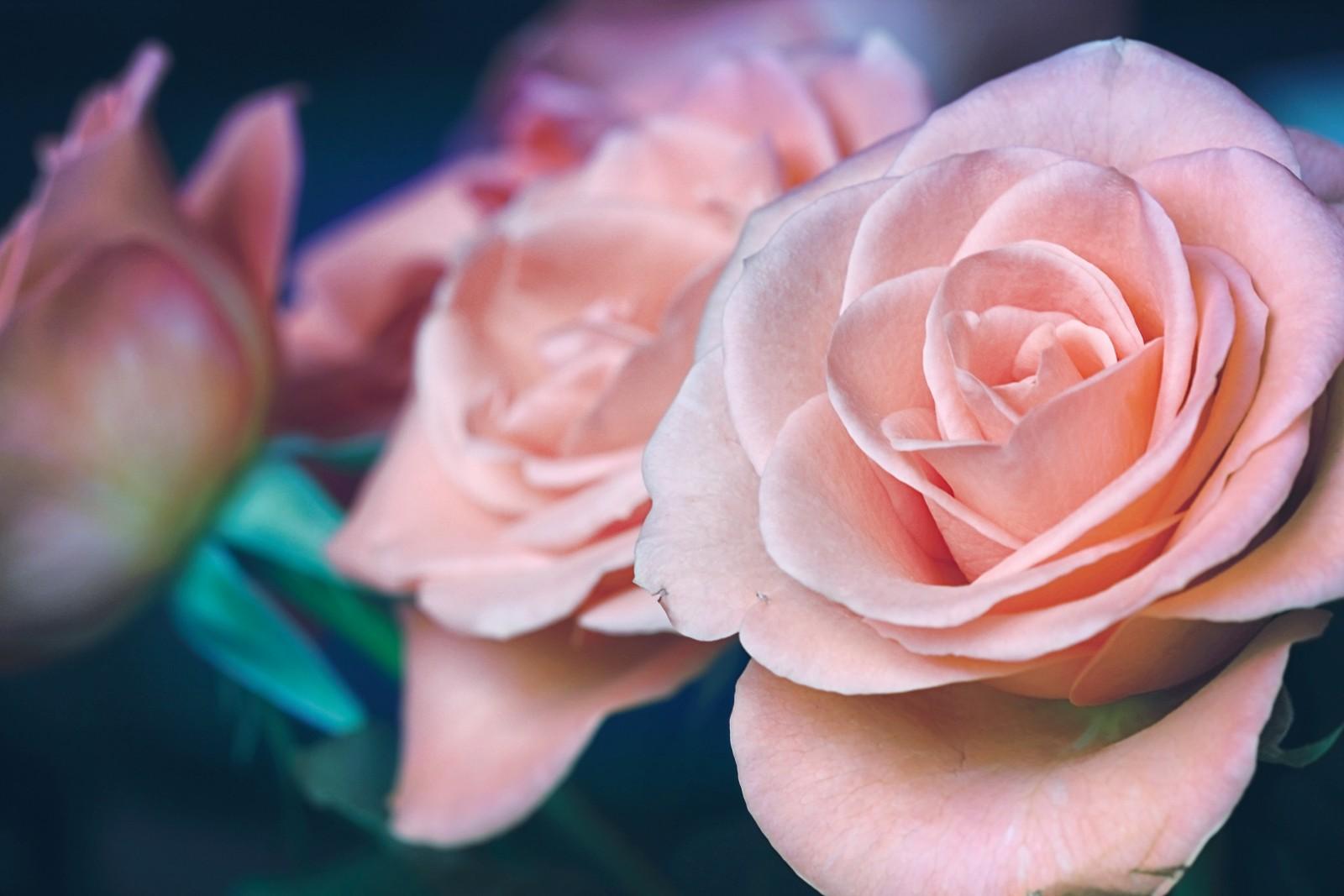 roses pour la saint valentin
